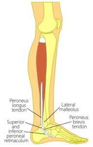 Peroneal Muscles